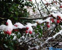 Quitten im Schnee P1270614